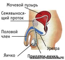 Мужские половые органы в отличие от женских расположены вне полости
